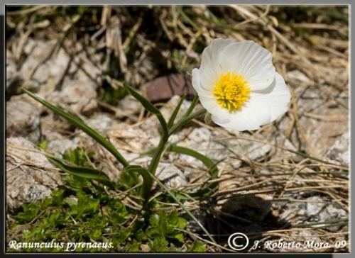 Ranúnculo_del_Pirineo.