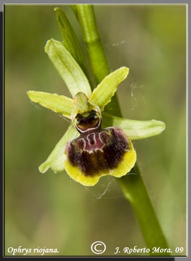 Ophrys_Riojana